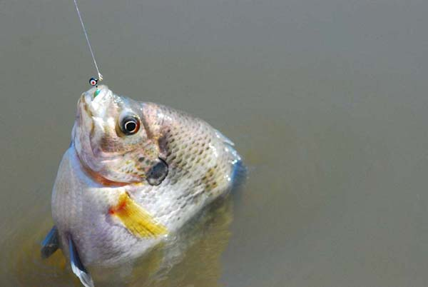 Bluegill will feed during the winter and are often found concentrated in deeper areas of the lake.