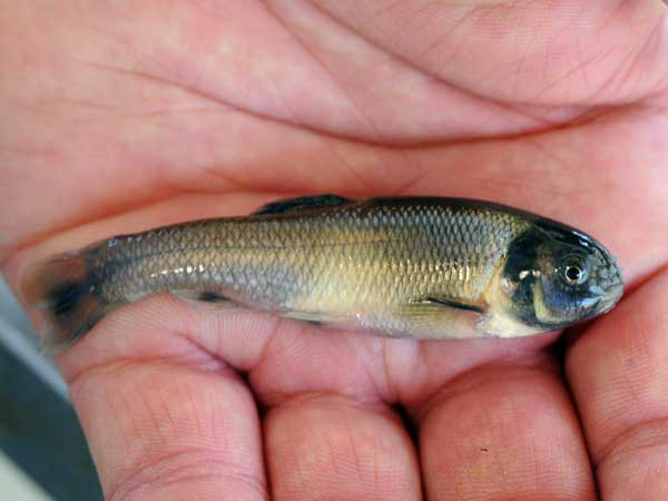 A male fathead minnow showing dark breeding coloration and tubercles on its nose.