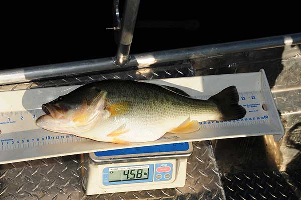 Tiger Bass is 18 months old and came from a lake in central Ala. that was stocked at a 30:1 bluegill-bass ratio. It also has a population of threadfin shad and golden shiners. There is an abundance of food allowing this bass to express its superior growth genetics.