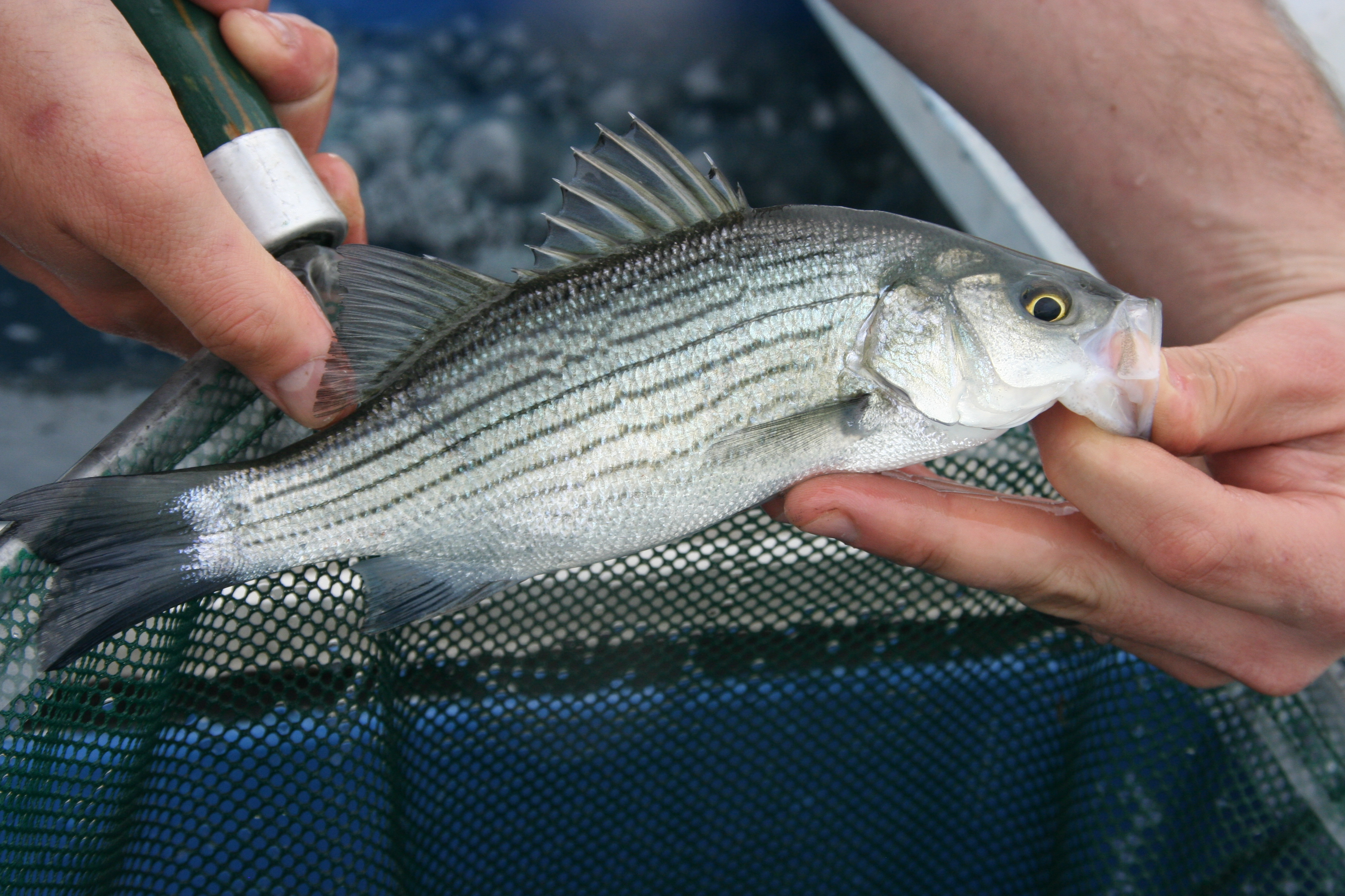 Thermal niches of striped bass