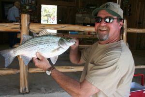 A plump, well fed hybrid striper, maybe two years old.