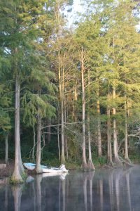 160 year old pond cypress trees influence the harmony of the aquatic environment at Richmond Mill Pond.