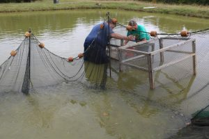 Harvesting and sorting tilapia. It' s work, but it' s also fun.