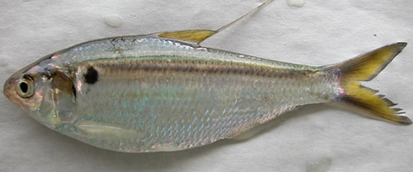 threadfin shad