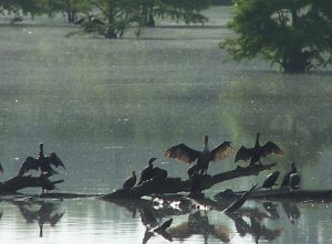 Cormorants and Otters