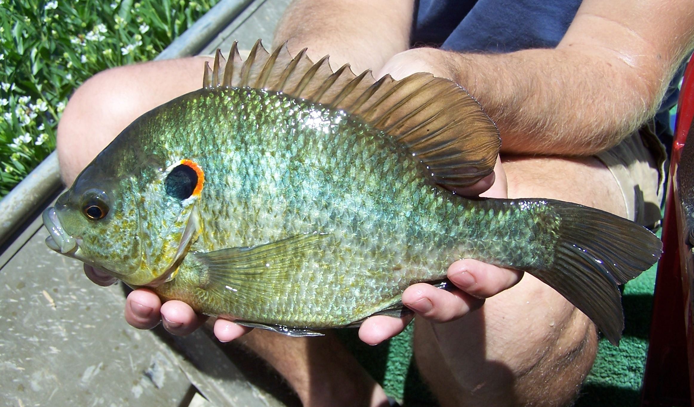 Grubs and leeches control with redear sunfish bob lusk for Shell cracker fish