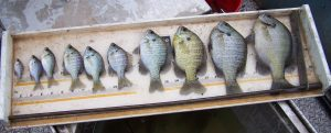 Coppernose Bluegill